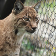 Close-up portrait of an Eurasian Lynx (Lynx lynx) — Stockfoto
