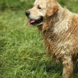 Golden retriever after a bath. — Stock Photo