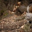 Cute squirrel at Central Park. - Stock Photo