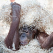 Stock Photo: Cute orangutan hiding under hay