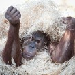 Royalty-Free Stock Photo: Cute orangutan hiding under hay