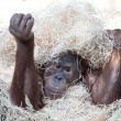 Cute orangutan hiding under hay — Stock Photo #7417202