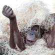 Cute orangutan hiding under hay — Stock Photo