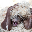 Cute orangutan hiding under hay - Stock Photo