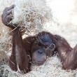 Cute orangutan hiding under hay — Stock Photo #7417221