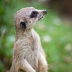 Watchful meerkat standing guard — Stock Photo
