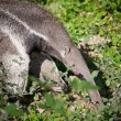 Giant Anteater (Myrmecophaga tridactyla) - Stock Photo