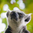 Lemur kata (Lemur catta) — Stock Photo #7417910