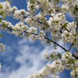 Spring - blossoming tree against lovely blue sky - Stock Photo
