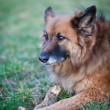 Belgian Shepherd Dog — Stock Photo #7418271