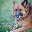 Belgian Shepherd Dog — Stock Photo #7418274