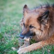 Belgian Shepherd Dog - Stockfoto