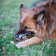 Belgian Shepherd Dog — Stock Photo #7418283
