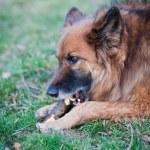 Belgian Shepherd Dog — Stock Photo