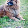 Belgian Shepherd Dog — Stock Photo #7418304