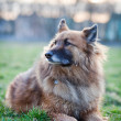 Belgian Shepherd Dog — Stock Photo #7418308