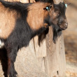 Mottled goat - Stock Photo