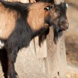 Stock Photo: Mottled goat
