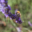Lavender - honey bee on lavender in Provence — Stock Photo