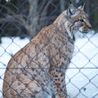 Close-up portrait of a captive Eurasian Lynx (Lynx lynx) on a sn - Stock Photo