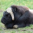 Stock Photo: Musk ox (Ovibos moschatus)