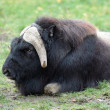 Musk ox (Ovibos moschatus) — Stock Photo