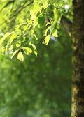 Piękne zielone tło naturalne - buk drzewo gałąź oświetlone przez — Zdjęcie stockowe