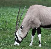 Gemsbok antelope (Oryx gazella) — Stock Photo