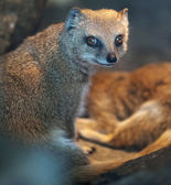 Funny and cute suricate (meerkat) in warm light of a heat lamp — Stock Photo