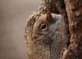 Söt ekorre ser av hennes hål. — Stockfoto