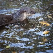 Otter - the cutest european mammal — Stock Photo