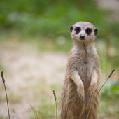 Watchful meerkat standing guard — Stockfoto