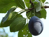 Plums - fruit on the tree in an orchard — Stock Photo