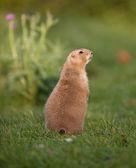 Black tailed prairie dog — Stock Photo