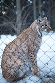 Close-up portrait of a captive Eurasian Lynx (Lynx lynx) on a sn — 图库照片