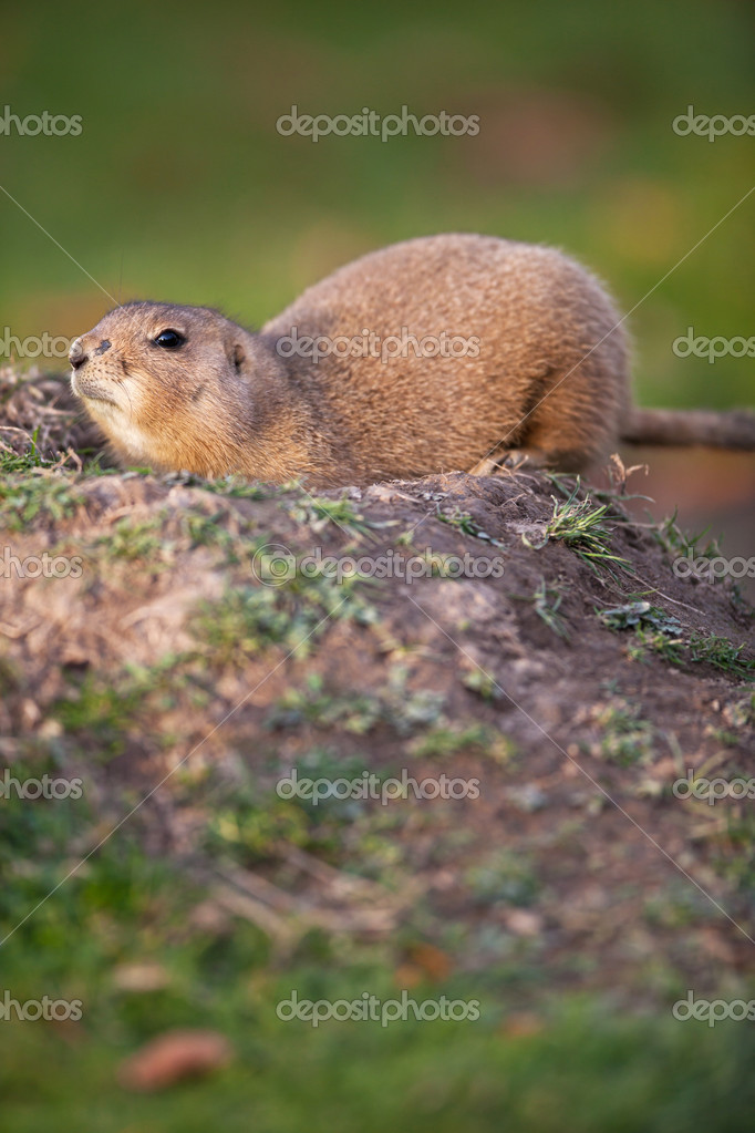 Black tailed prairie dog — Stock Photo #7418838