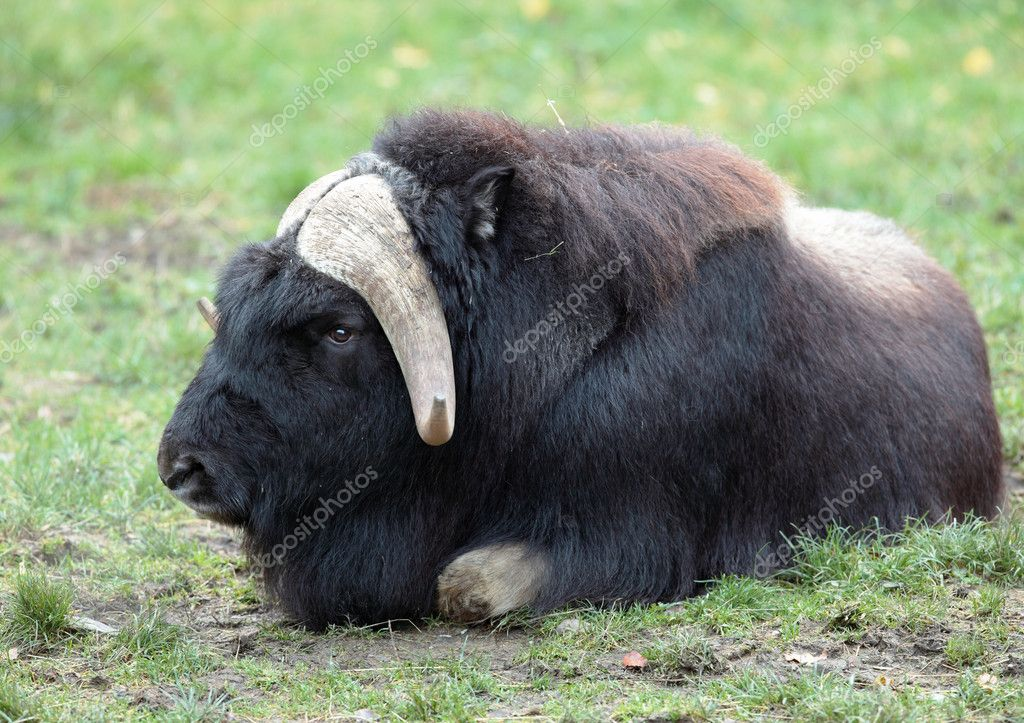Musk ox (Ovibos moschatus)  Stock Photo #7419839