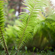 Green Fern — Stock Photo #7420096
