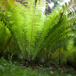 Green Fern — Stock Photo #7420100