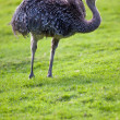 Ostrich — Stock Photo #7420506
