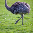 Ostrich — Stock Photo #7420525