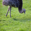 Ostrich — Stock Photo #7420535