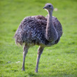Ostrich — Stock Photo #7420543
