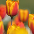 Lovely tulips in a garden — Stock Photo