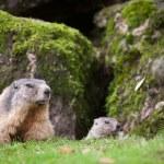 Marmot (Marmota marmota) — Stock Photo #7421708