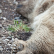 Stock Photo: A brown bear resting