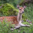 Sika deer — Stock Photo #7421875