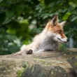 Red Fox — Stock Photo #7421887