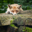 Red Fox — Stock Photo #7421896