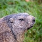 Marmot — Stock Photo #7421912